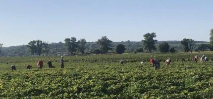 На Лисянщині виявили понад сотню нелегальних збирачів полуниці